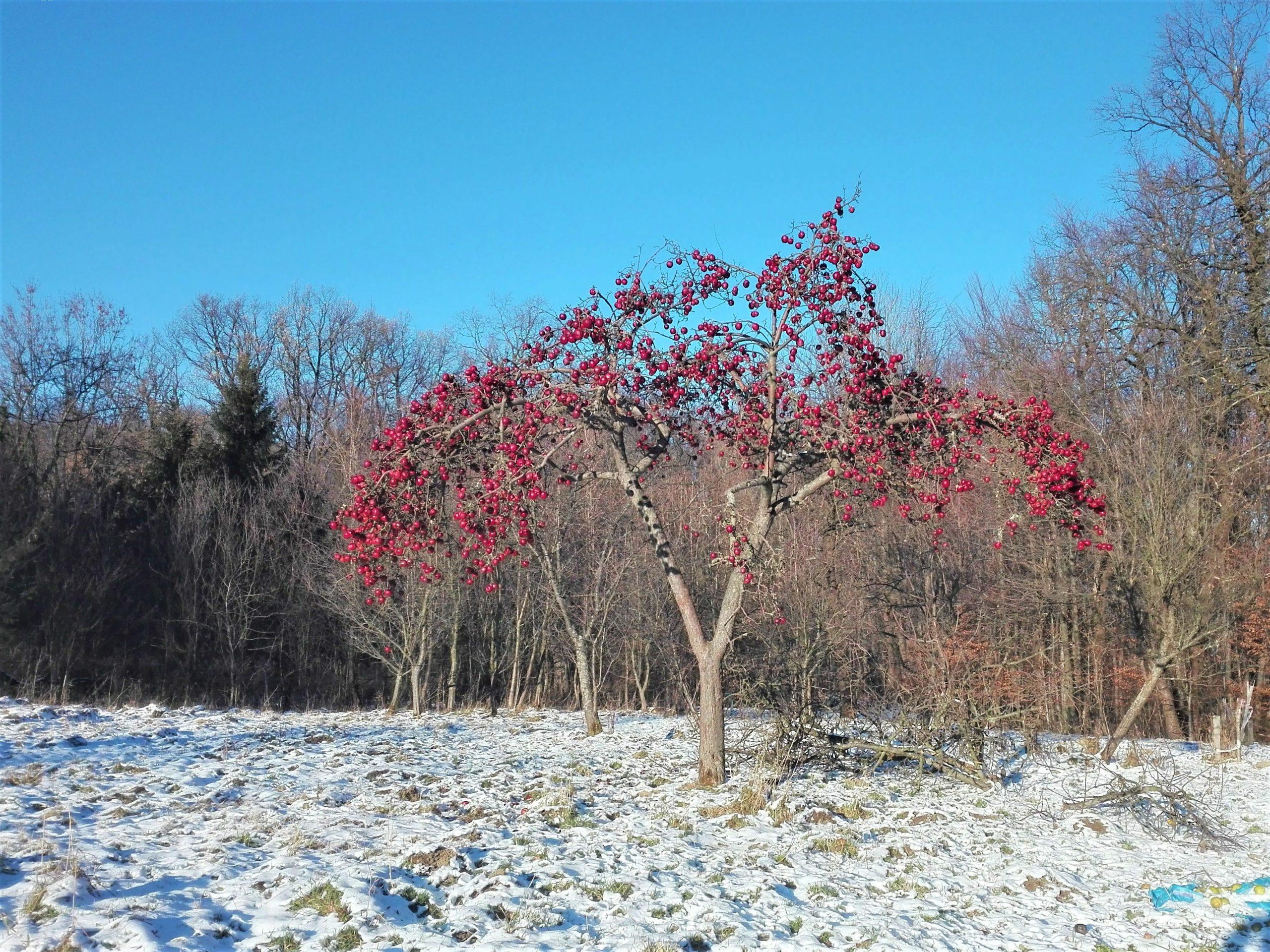 Jabłoń z czerwonymi jabłkami stojąca na sniegu